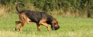 Bloodhound verfolgt Spur