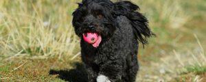 Der Bolonka Zwetna ist ein lebhafter, sehr verspielter und anhänglicher Familienhund.