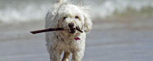 Cockapoo Hund