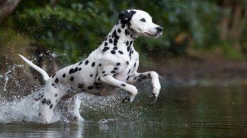 Dalmatiner Hund