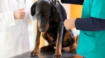 Das Wobbler-Syndrom betrifft vor allem große Hunde wie Dobermänner und Doggen