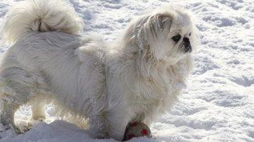 Gastritis kann auch entstehen, wenn Hunde zu viel Schnee fressen
