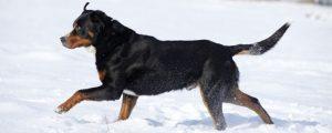 Schweizer Sennenhund