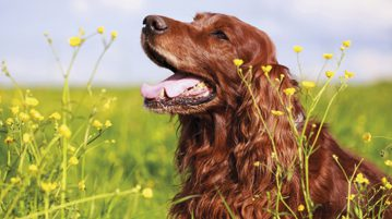 Irish Red Setter