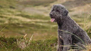 Labradoodle gehörten zu den ersten Hybridhunden mit Pudelanteil.