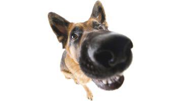 Das Cauda-Equina-Syndrom betrifft oft Schäferhunde