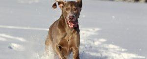 Weimaraner sind anspruchsvolle Hunde: Wer einen edlen Grauen hält, hat eine Aufgabe.