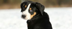 Welpe Schweizer Sennenhund