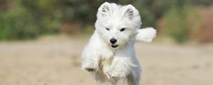 West Highland White Terrier apportiert