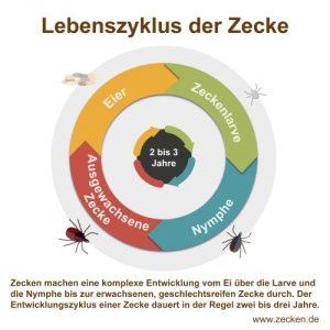 Lebenszyklus der Zecke