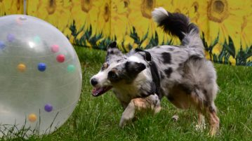 Australian Shepherd beim Treibball