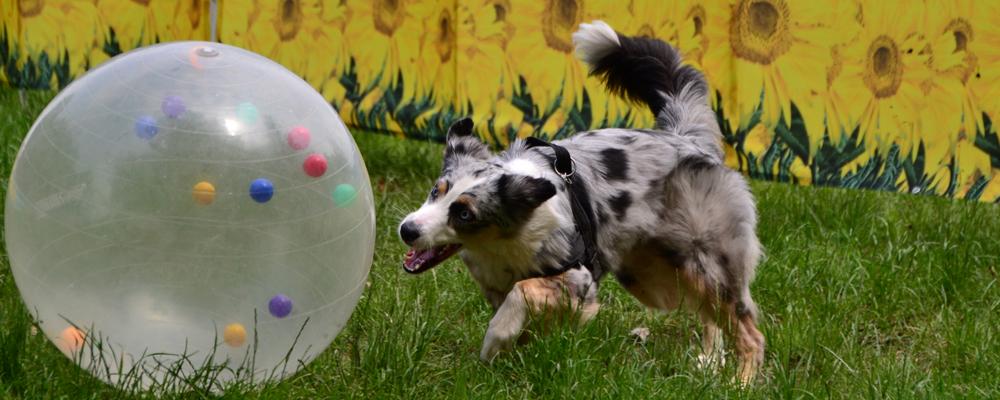 Treibball hund