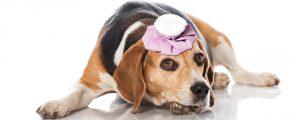 Beagle mit Coolpack auf Kopf