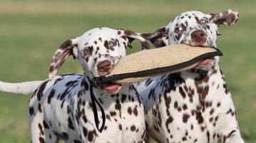Dalmatinerwelpen mit Spielzeug