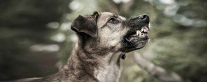 Zaehne flaetschender Hund