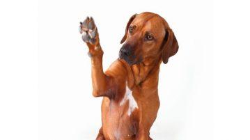 Hund zeigt Pfote