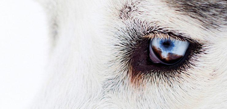 Auge Husky