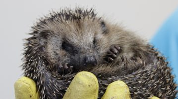Igel in Hand