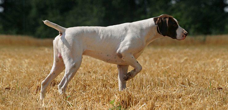 jagd hund