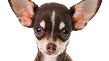Patellaluxation beim Hund