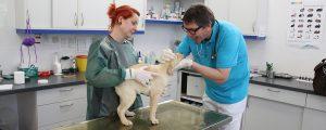 Dr. Dietrich untersucht Beagle