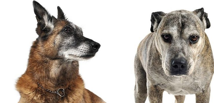 Von Lungenkrebs sind meist alte Hunde betroffen