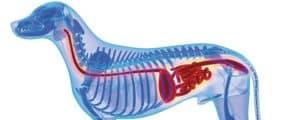 Bei einem Darmverschluss hat der Hund Bauchschmerzen und ist appetitlos