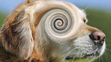 Drehschwindel tritt häufig bei älteren Hunden auf