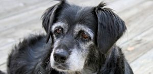 Ein Mastzelltumor findet sich häufig bei alten Hunden