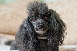 Brustkrebs kommt häufig bei älteren Hunden vor