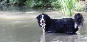 Das Gift von Blaualgen kann Hunde töten, wenn sie es mit dem Wasser aufnehmen.