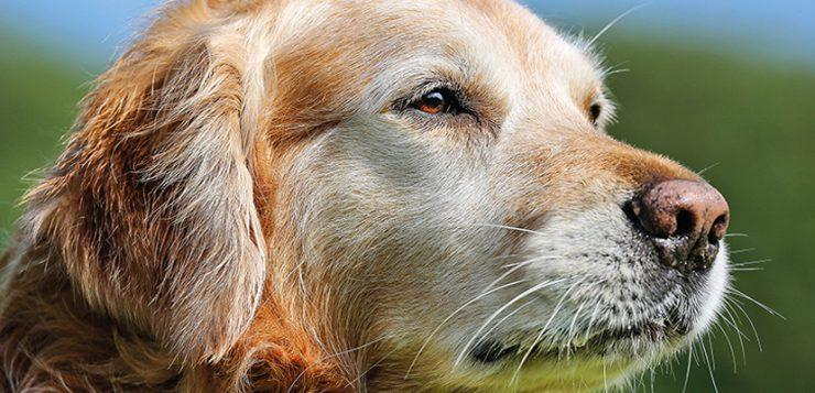 Diabetes Mellitus beim Hund
