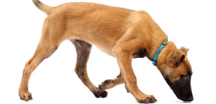 Bauchhoden bei jungen Hunden müssen entfernt werden