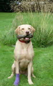 Hund mit Verband im Garten