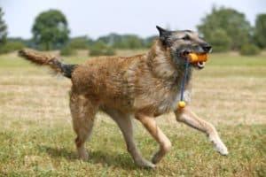 rauhaariger belgischer Schäferhund Laekenois