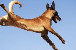 Malinois springt in der Luft