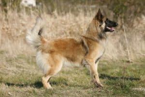langhaariger belgischer Schäferhund Tervueren
