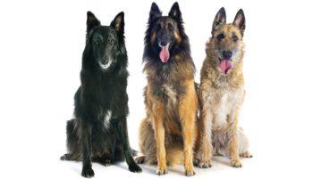 Groenendael, Tervueren und Laekenois sind Belgische Schäferhunde