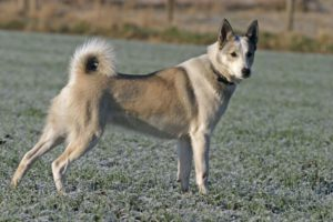 Der Westsibirische Laika gehört zu den ursprünglichsten Jagdhunden