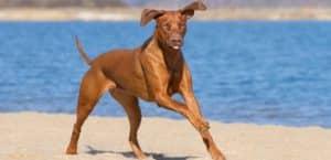 Rhodesian Ridgeback rennt am Strand