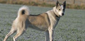 Der westsibirische Laika sollte Wild wie Elch und Bär stellen