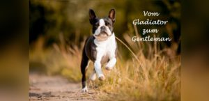 rennender Boston Terrier