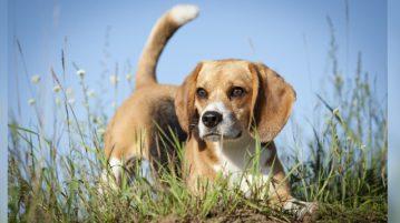 Beagle im Gras