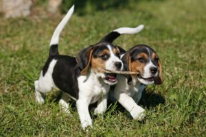 spielende Beagle-Welpen