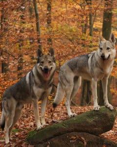 Tschechoslowakische Wolfhunde im Wald im Herbs