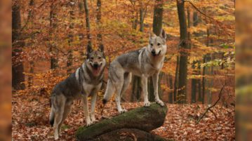 Tschechoslowakische Wolfhunde im Wald