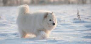 Samojede geht durch Schnee