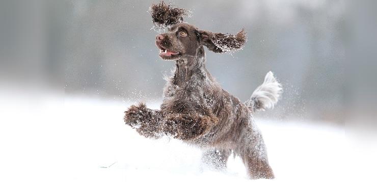 Cocker Spaniel im Schnee