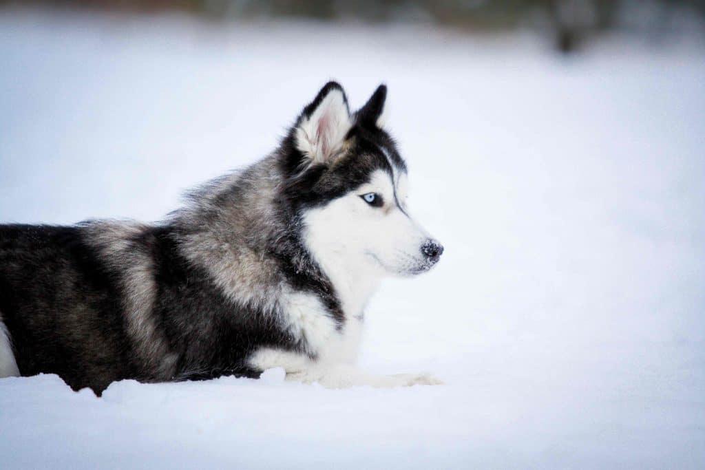 Siberian Huskys sind perfekt auf das Leben in Schnee und Kälte vorbereitet.