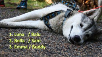 Husky liegt und macht nach Sport eine Pause